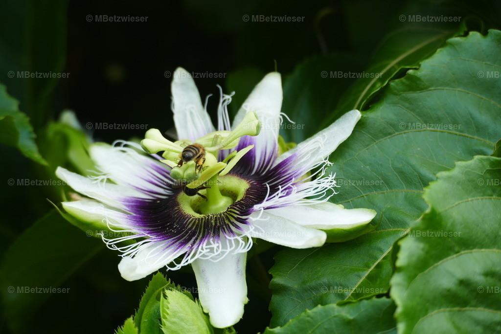 P1010007 | Mit mehr als 10 cm großen Blüten