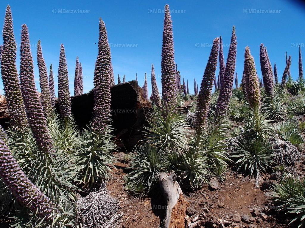 P5141473 | Natternköpfe auf dem Roque de Los Muchachos