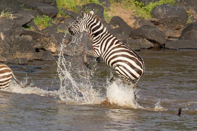 Krokodilattacke auf Zebra   Völlig paralysiert springt das Zebra senkrecht aus dem Wasser. das Blut spitzt aus der klaffenden Wunde.