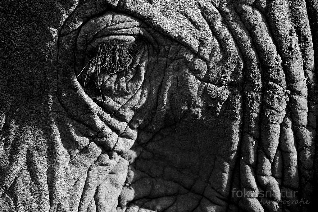 Elefantenauge | Die Elefantenwimpern sind so lange, um lästige Bremsen abzuwehren.