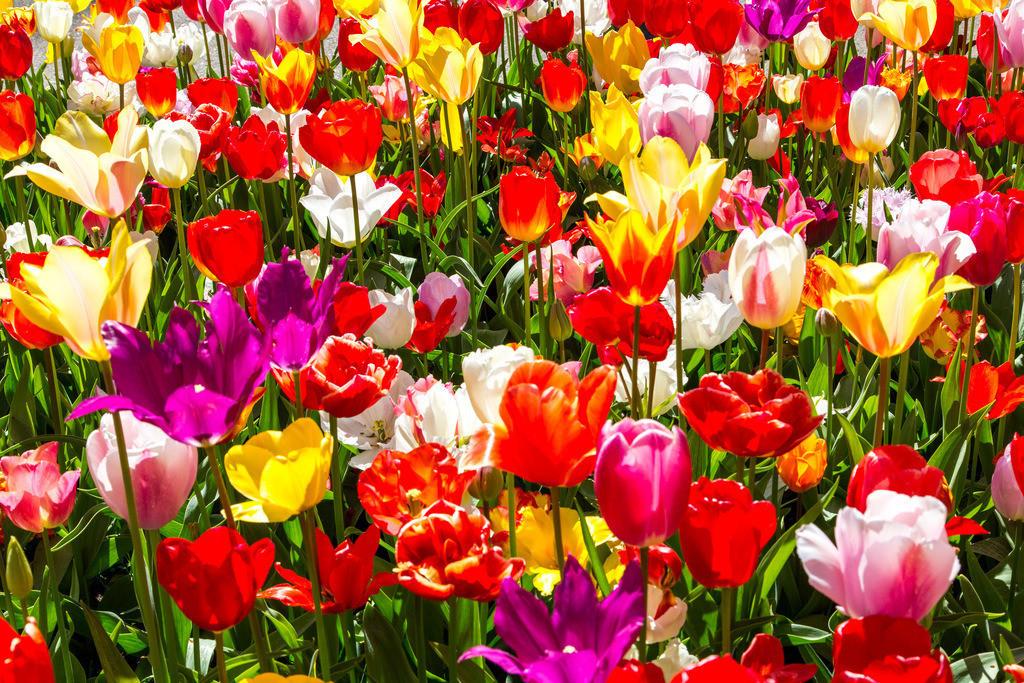 JT-160803-073   viele bunte Tulpen, Tulpenfeld, Tulpenbeet,