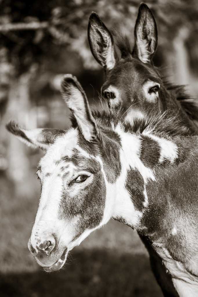 Lilli und Berta   Eselaufnahmen am Duftbräu.