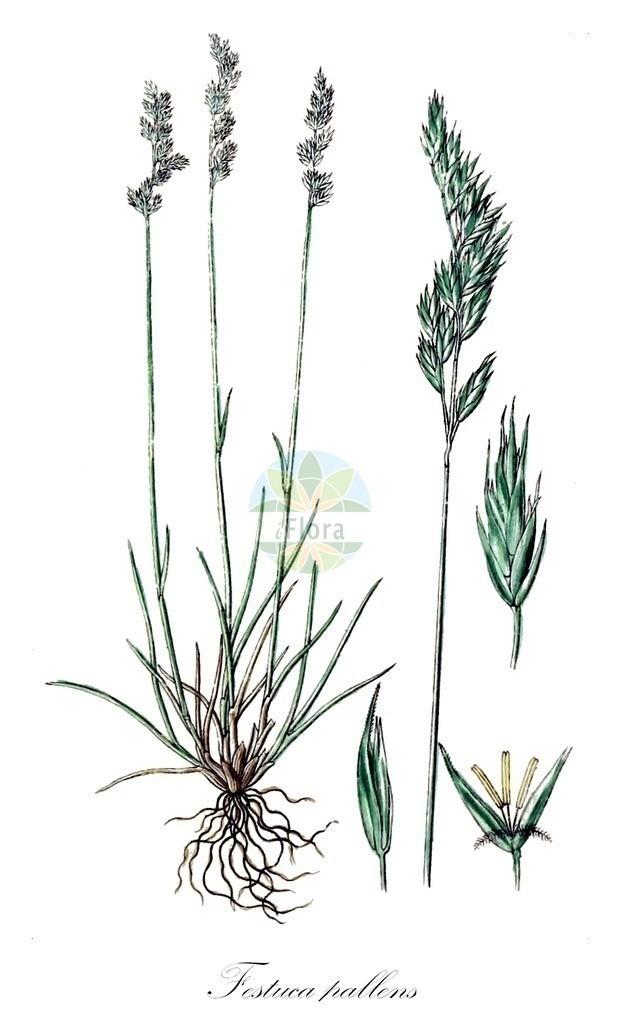 Historical drawing of Festuca pallens (Pale Fescue) | Historical drawing of Festuca pallens (Pale Fescue) showing leaf, flower, fruit, seed