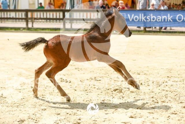 RFV Ochtrup - Fohlenparade-0917