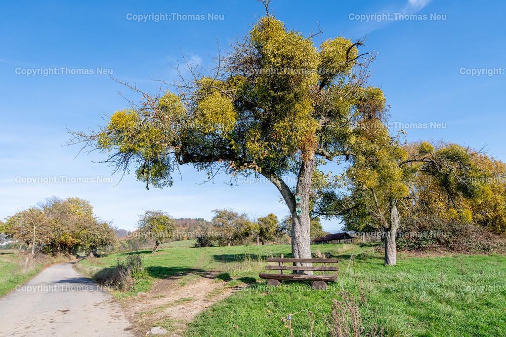 DSC_5111   bre,bli,Adventsspaziergang , Schlierbacher Tal bis zum Kunstweg Lindenfels Fürth,, von Mispeln befallene Bäume ,  Bild: Thomas Neu