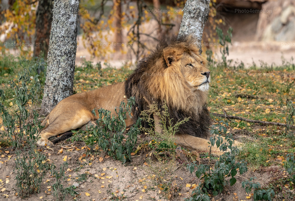 Wachsames Löwen-Männchen