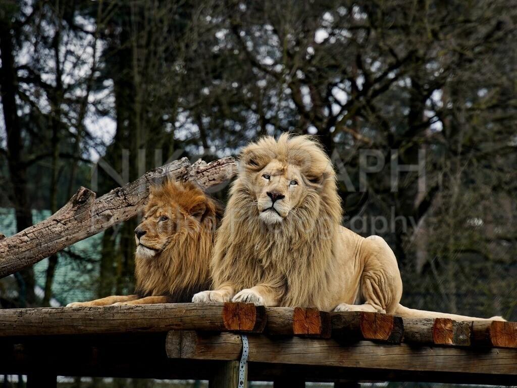 Löwen   Ein Löwenpaar liegt gemeinsam auf einem Plateau.