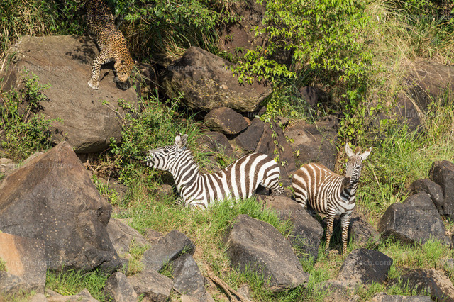 Leopardattacke   Unter Schock bricht das Zebra am Ufer, zwischen den Felsen, zusammen. Teilnahmslos steht das Junge daneben. Ein Leopard kommt aus dem Gebüsch und fixiert  das Zebra.
