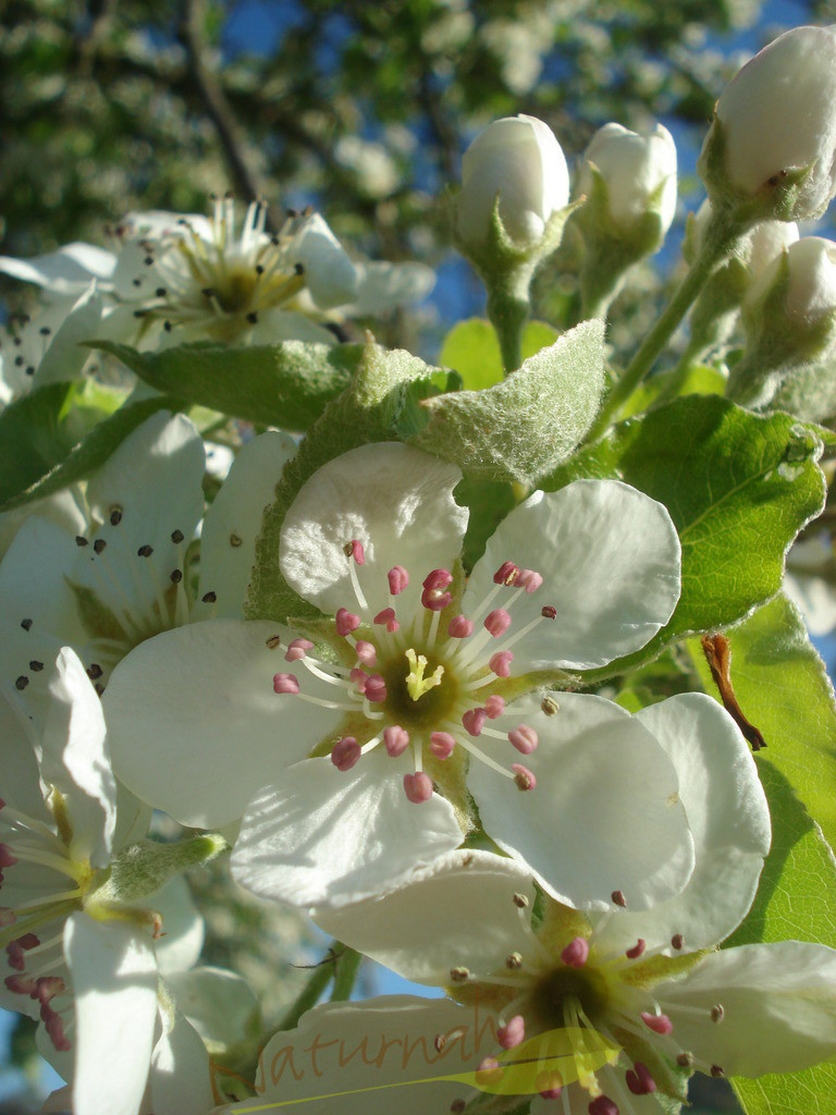 Blütenglück | Obstbaumblüten