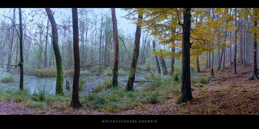 Weltnaturerbe Grumsin   Moor mit Buchen und Erlen im Weltnaturerbe Buchenwald Grumsin