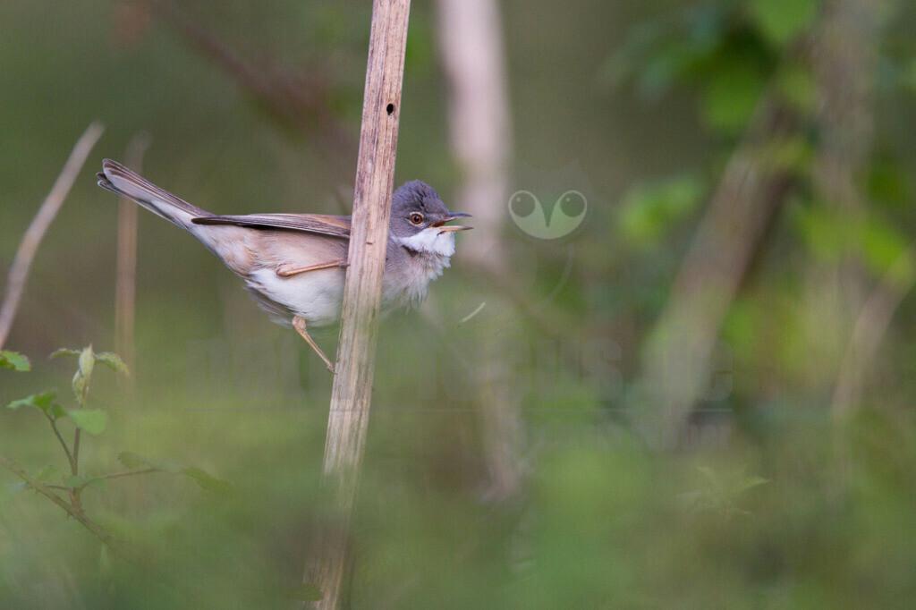 Dorngrasmücke | Die Dorngrasmücke ist ein Singvogel aus der Gattung der Grasmücken und in Europa weit verbreitet. Sie bevorzugt Lebensräume mit dornigen Büschen, in denen sie ihr Nest anlegt.