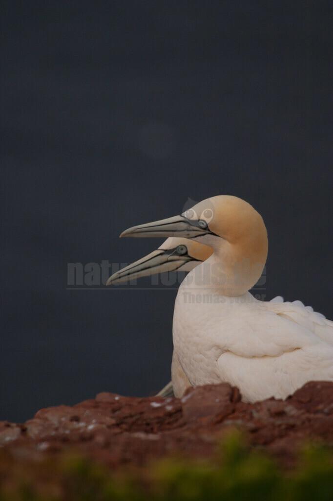 20060516_0545382424  | Der Basstölpel ist ein gänsegroßer Meeresvogel aus der Familie der Tölpel. Innerhalb dieser Familie ist er die am weitesten im Norden brütende Art und die einzige, die auch in Europa brütet.