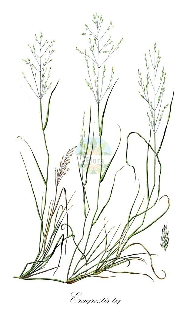 Historical drawing of Eragrostis tef (Lovergrass) | Historical drawing of Eragrostis tef (Lovergrass) showing leaf, flower, fruit, seed