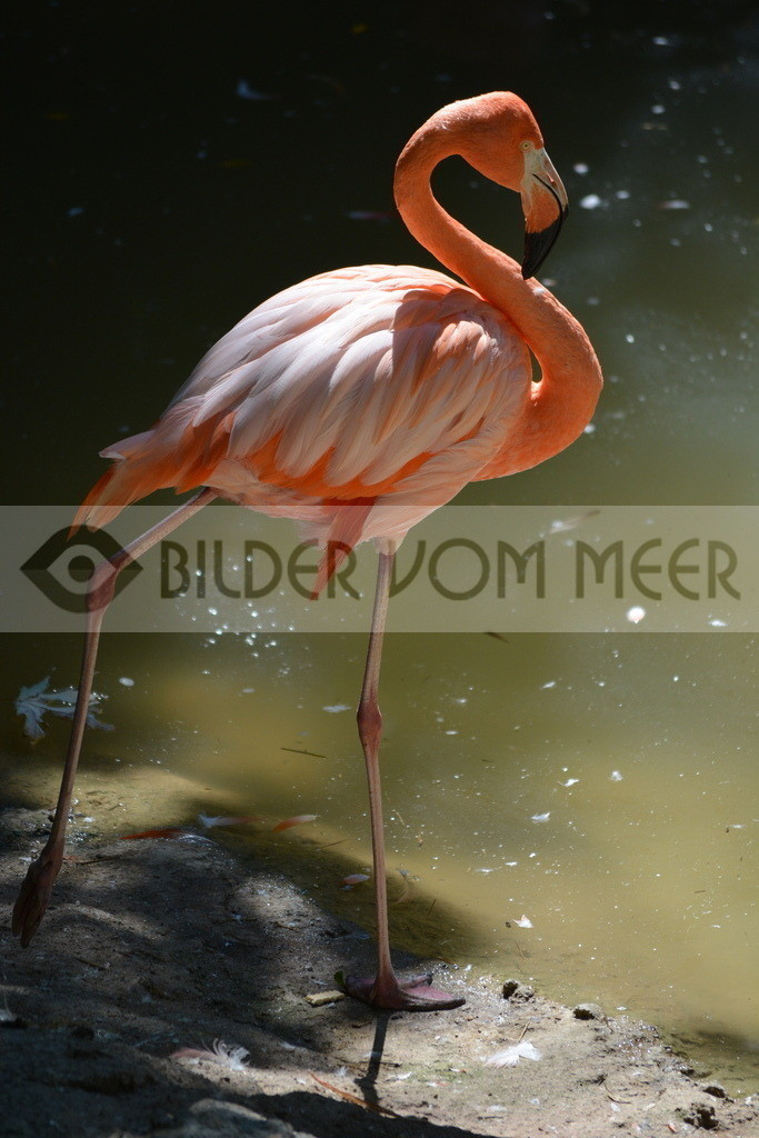 Flamingo Art Bilder   Rosa Flamingo Art Bilder