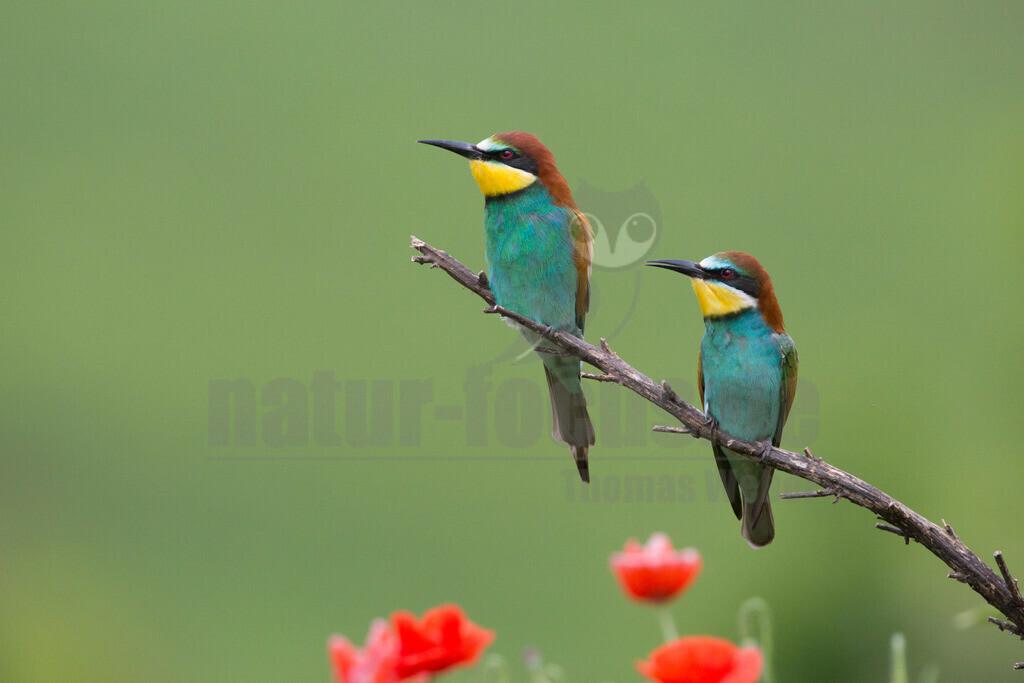 20140520_101349   Die Bienenfresser tragen ihren Namen, weil sie am liebsten Bienen, Wespen und Hummeln fressen. Bienenfresser auf einem Baum mit Beute im Schnabel (Bild: SWR)Bienenfresser sind die farbenprächtigsten Vögel, die es in Europa gibt. Das liegt daran, dass sie zu einer Vogel-Gruppe gehören, die in den Tropen zu Hause ist: sie gehören zu den Rackenvögeln und sind mit unseren Eisvögeln verwandt.