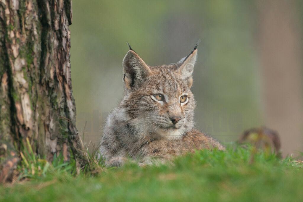 20081010151822   Die Luchse sind eine Gattung der Familie der Katzen. Alle vier heute lebenden Arten kommen auf der Nordhalbkugel vor: Der Eurasische Luchs ist in weiten Teilen Europas und Asiens verbreitet.