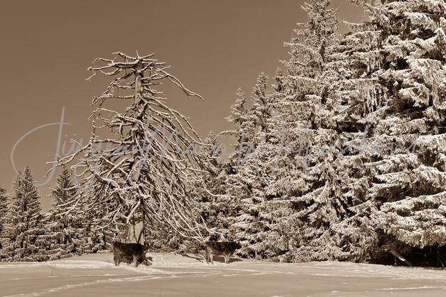 1083418_Kuh_Winter_JMW_sepia