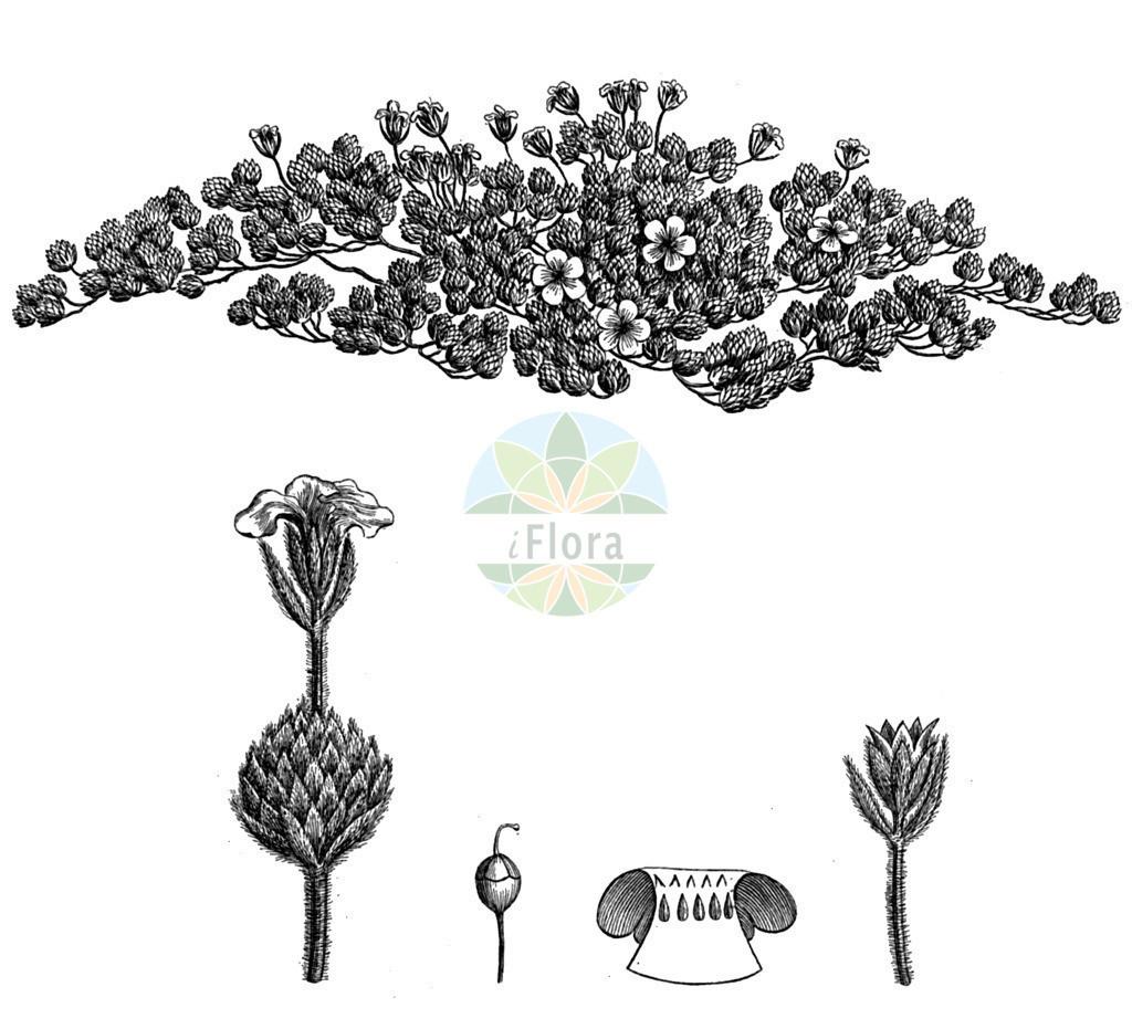 Androsace villosa   Historische Abbildung von Androsace villosa. Das Bild zeigt Blatt, Bluete, Frucht und Same. ---- Historical Drawing of Androsace villosa.The image is showing leaf, flower, fruit and seed.