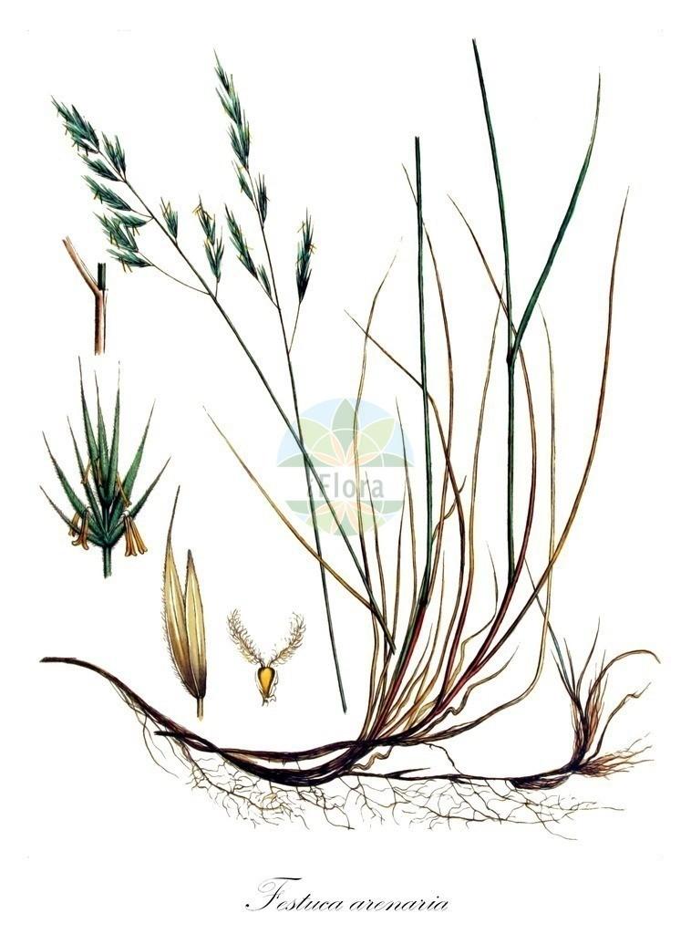 Historical drawing of Festuca arenaria (Rush-leaved Fescue) | Historical drawing of Festuca arenaria (Rush-leaved Fescue) showing leaf, flower, fruit, seed