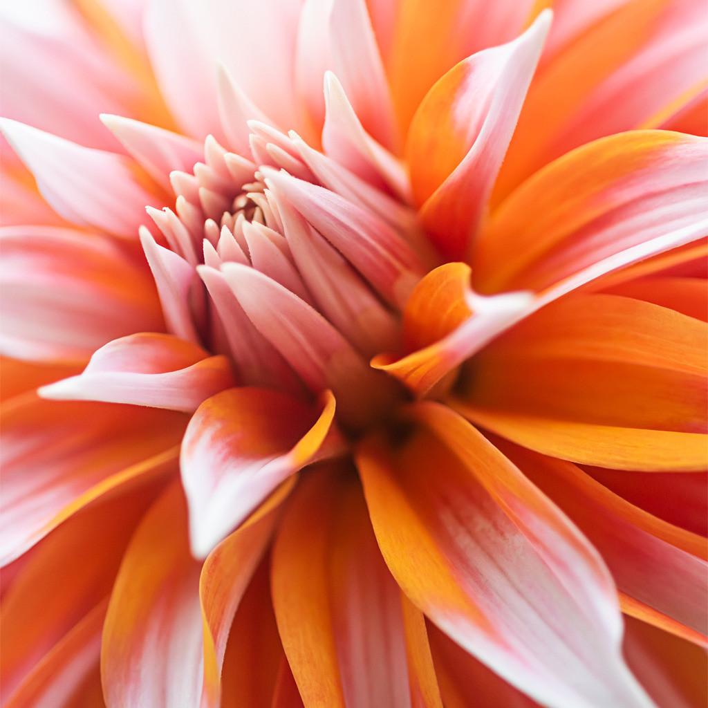 Orange-weiße Blüte einer Sterndahlie   Best. Nr. d_2020_08_0154-q.  Einen Anwendungsvorschlag finden Sie hier: https://shop.soulimages.eu/img/564px3 (dekorative Dreiergruppe an der Wohnzimmerwand). Weitere Einrichtungsbeispiele sind in der Galerie