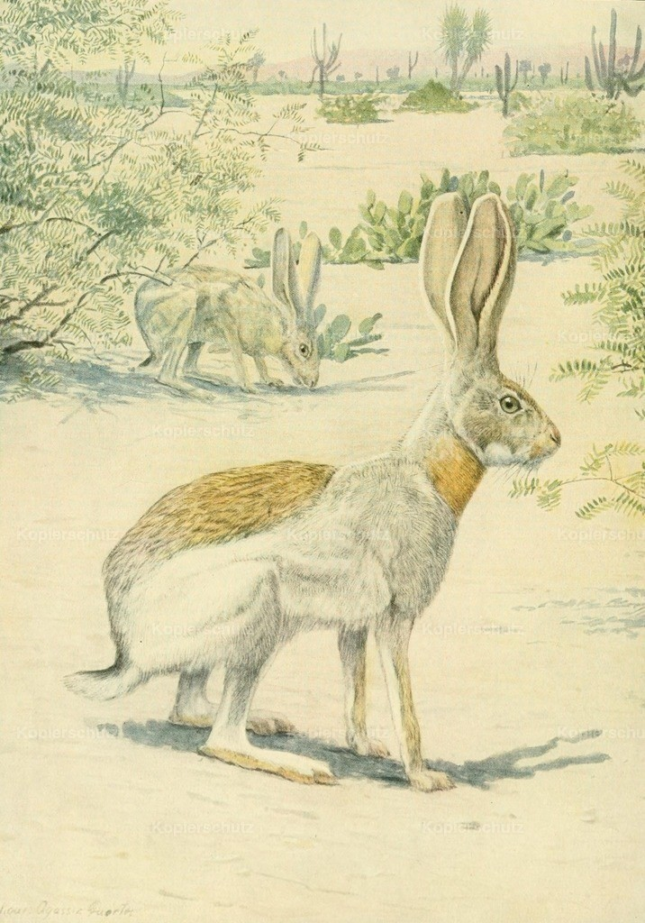 Fuertes_ L.A. (1874-1927) - Wild Animals of N. America 1918 - Antelope Jack Rabbit