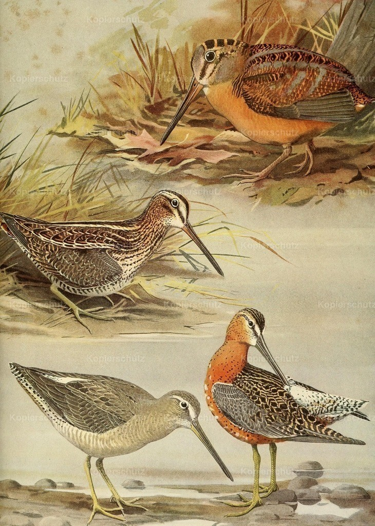 Fuertes_ L.A. (1874-1927) - Birds of Massachusetts 1925 - Woodcock_ Snipe_ Dowitcher