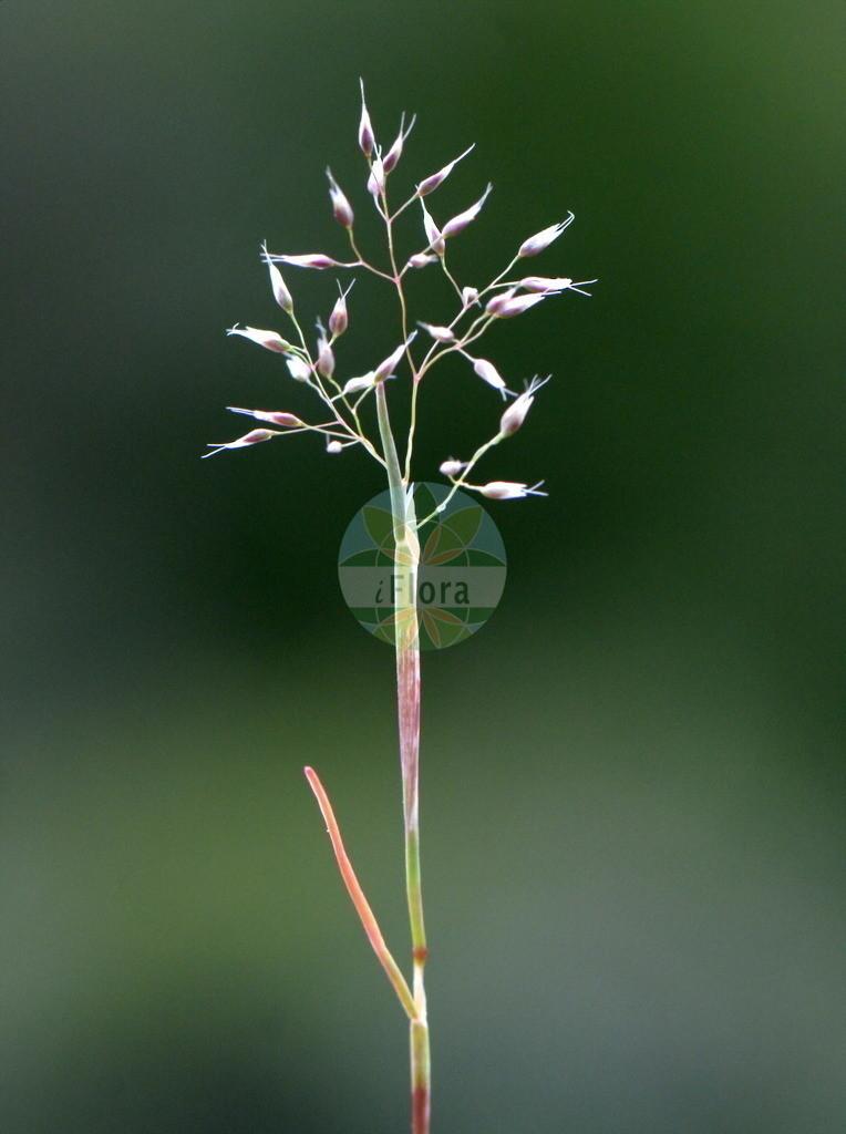 Aira praecox (Fruehe Haferschmiele - Early Hair-grass) | Foto von Aira praecox (Fruehe Haferschmiele - Early Hair-grass). Das Bild zeigt Blatt und Bluete. Das Foto wurde in Ehringhausen, Lahn-Dill-Kreis, Hessen, Deutschland, Noerdliches Hessisches Schiefergebirge aufgenommen. ---- Photo of Aira praecox (Fruehe Haferschmiele - Early Hair-grass).The image is showing leaf and flower.The picture was taken in Ehringhausen, Lahn-Dill district, Hesse, Germany, Northern Hessisches Schiefergebirge.