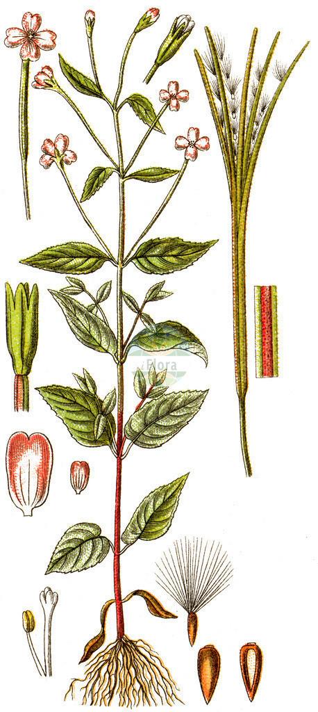 Epilobium montanum (Berg-Weidenroeschen - Broad-leaved Willowherb) | Historische Abbildung von Epilobium montanum (Berg-Weidenroeschen - Broad-leaved Willowherb). Das Bild zeigt Blatt, Bluete, Frucht und Same. ---- Historical Drawing of Epilobium montanum (Berg-Weidenroeschen - Broad-leaved Willowherb).The image is showing leaf, flower, fruit and seed.
