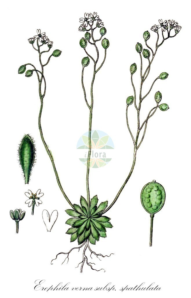 Historical drawing of Erophila verna subsp. spathulata (Fruited Whitlowgrass) | Historical drawing of Erophila verna subsp. spathulata (Fruited Whitlowgrass) showing leaf, flower, fruit, seed