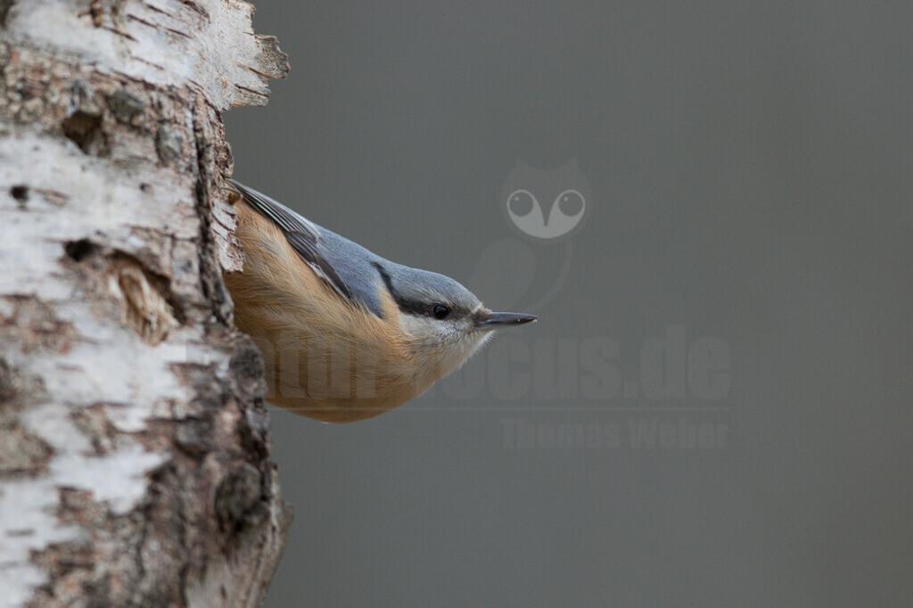 20191229-663A6408 Kopie | Der Kleiber (Sitta europaea), auch Spechtmeise, ist eine Vogelart aus der Familie der Kleiber.