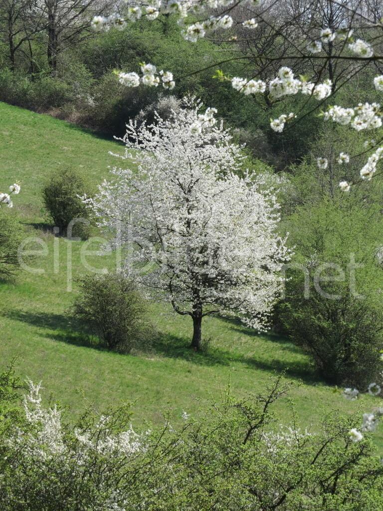 Kirschblüte am Immerather Maar | Immerath, Eifel (Vulkaneifel)