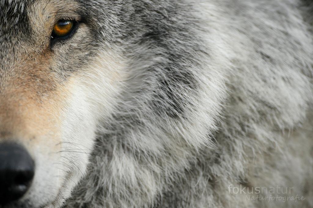 Portrait eines Wolfs | Ein europäischer Wolf im Portrait