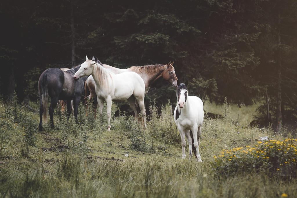 Pferdegruppe auf der Alm | Eine Gruppe bunter Pferde auf der Alm