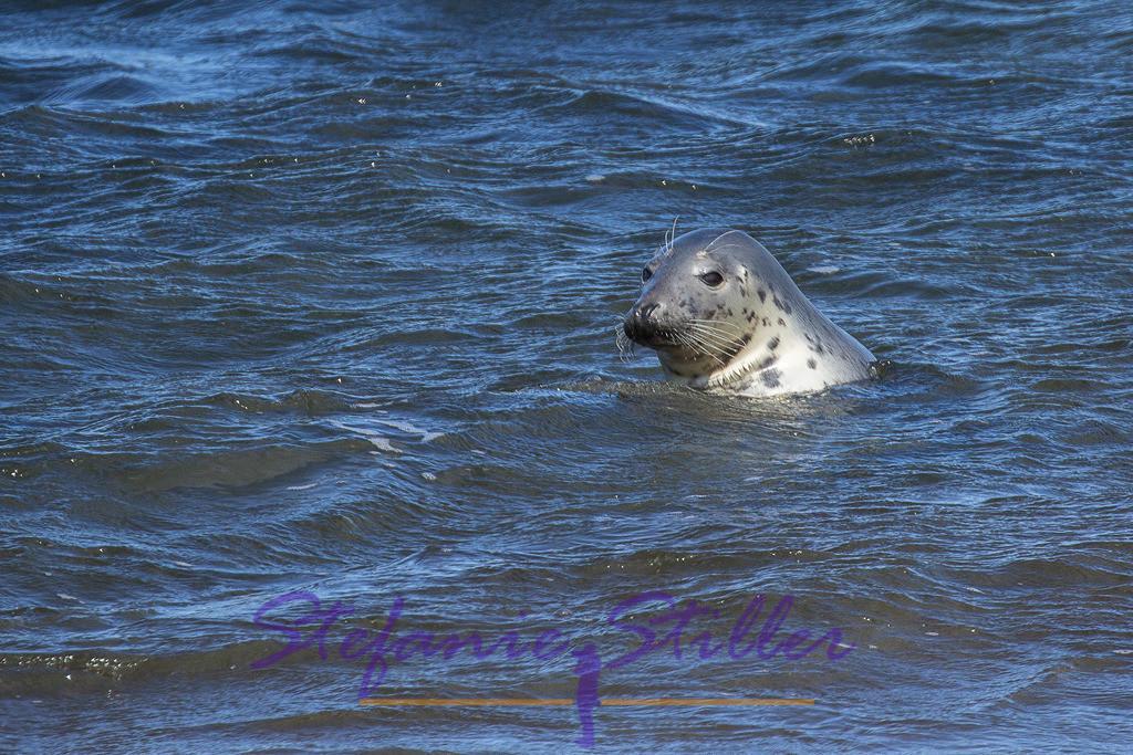 Baden ist schön   Seehund badet im Meer
