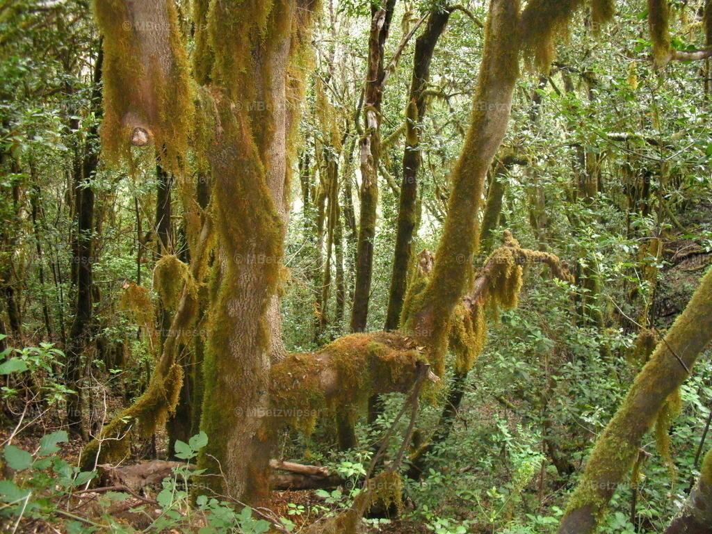 DSCF0106 | Baum umgarnt von Flechten und Moos