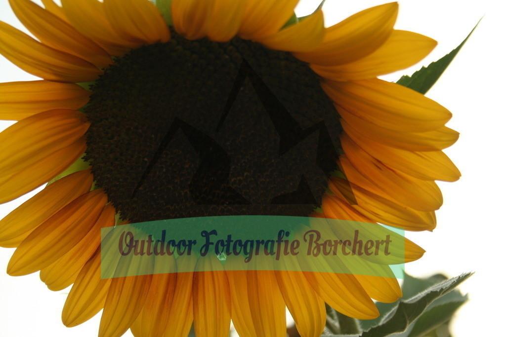 IMG_6788 | Sonnenblumme