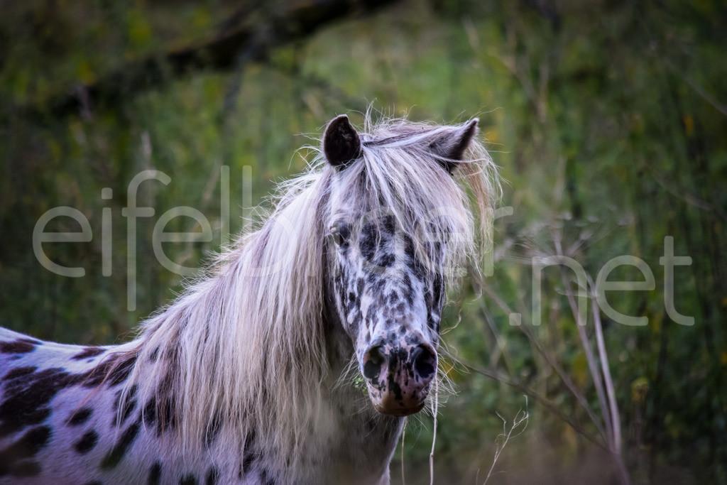 Pony Tigerschecke | fotografiert in der Eifel