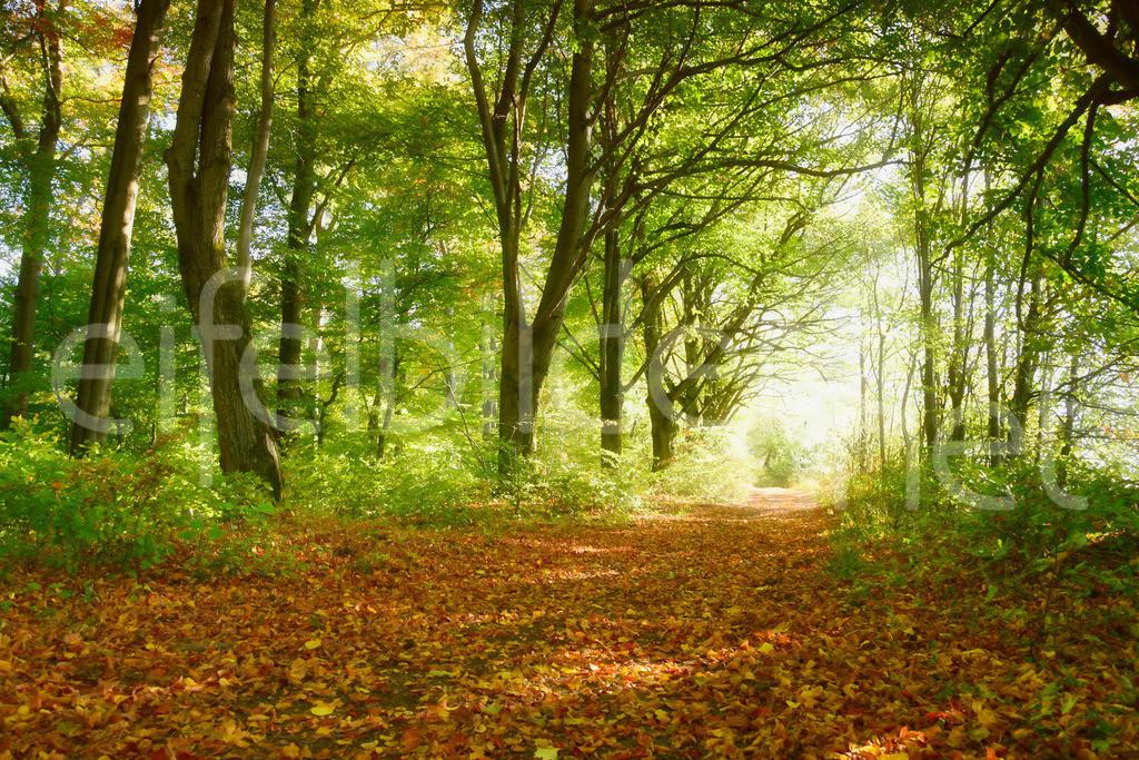 Herbstwald am Pulvermaar in der Vulkaneifel | Mystischer Herbstwald in weichem Licht, fotografiert am Pulvermaar in der Eifel