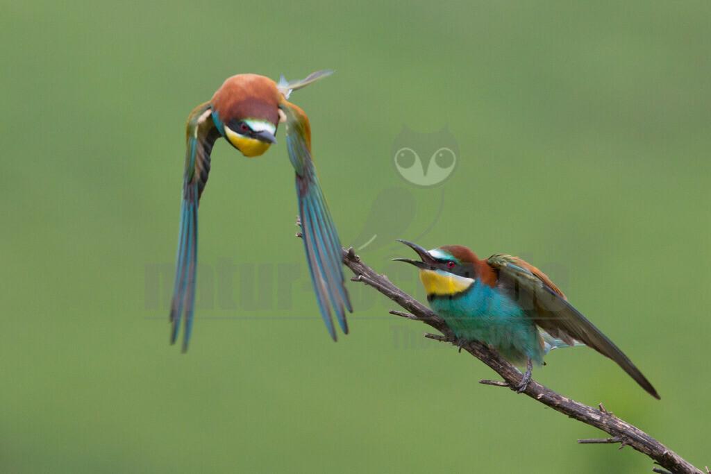 20140520_101002 | Die Bienenfresser tragen ihren Namen, weil sie am liebsten Bienen, Wespen und Hummeln fressen. Bienenfresser auf einem Baum mit Beute im Schnabel (Bild: SWR)Bienenfresser sind die farbenprächtigsten Vögel, die es in Europa gibt. Das liegt daran, dass sie zu einer Vogel-Gruppe gehören, die in den Tropen zu Hause ist: sie gehören zu den Rackenvögeln und sind mit unseren Eisvögeln verwandt.