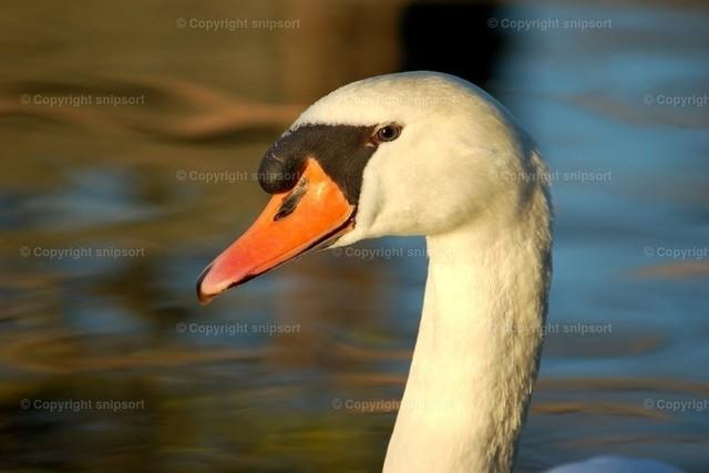 Schwan | Porträt von einem im Teich schwimmenden Schwan.