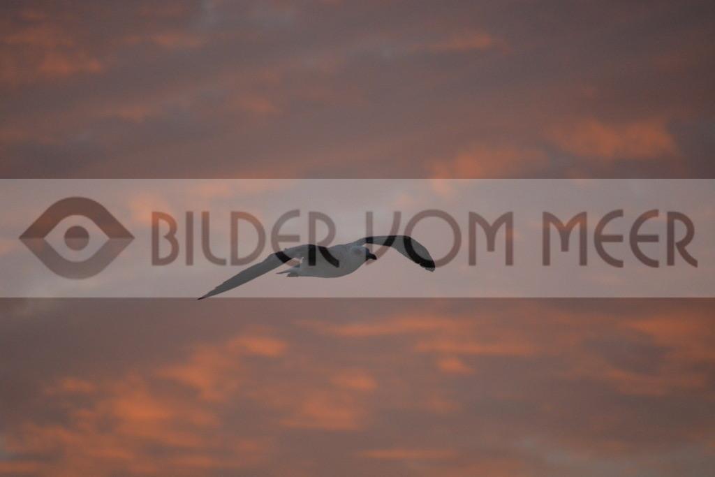 Möwen Bilder | Möwe im Gleitflug bei Sonnenuntergang