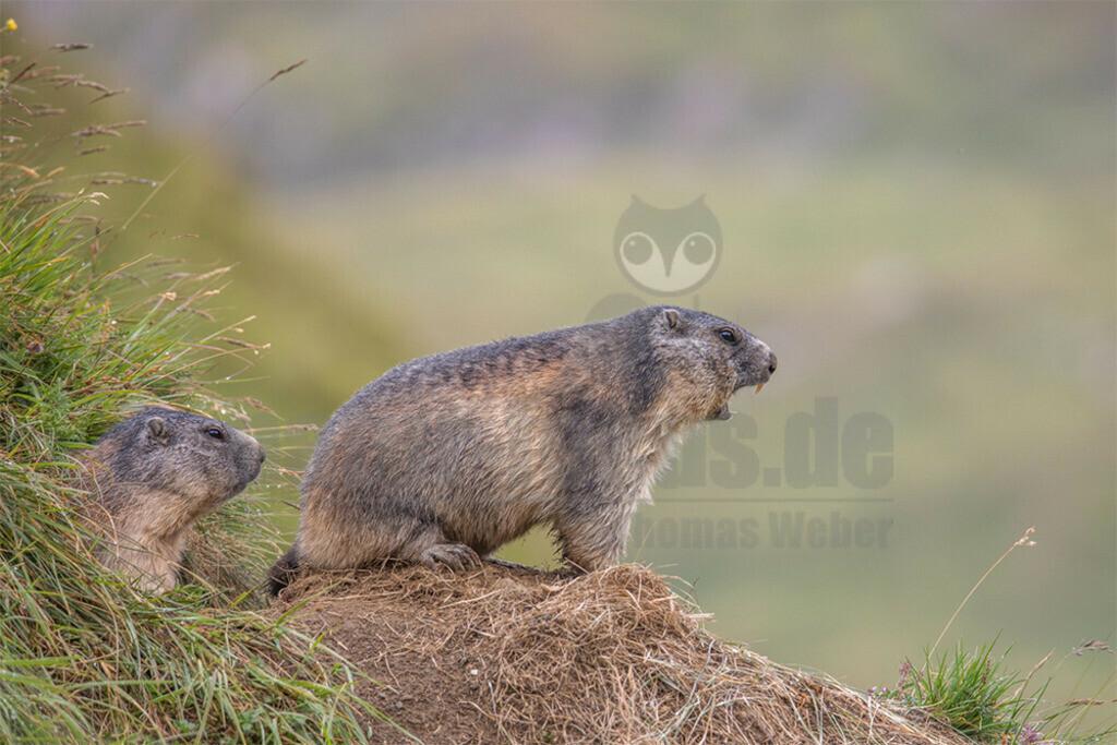 20190819-663A1672 | Das Alpen-Murmeltier ist in den Alpen heimisch und dort mit keinem anderen Tier zu verwechseln. Es ist auch sicher das bekannteste Tier der alpinen Fauna und fast jeder Bergwanderer hat es schon öfter gesehen. Je nach Region hat es andere Namen in Bayern heisst es Mankei, im Allgäu Murmele, in der Schweiz Murmeli und in Frankreich Marmotte.