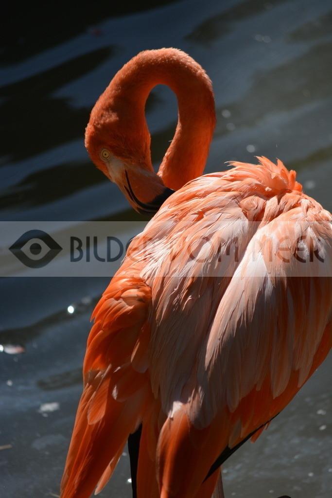 Flamingo Bilder | Roter Flamingo Bilder