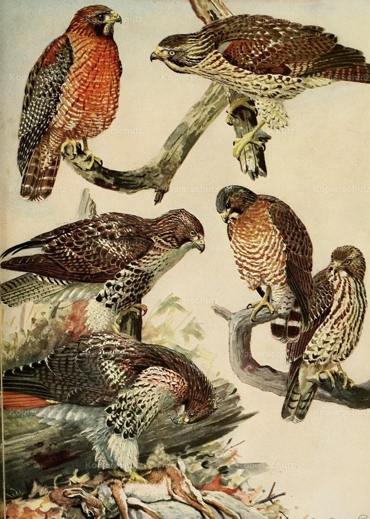 Fuertes_ L.A. (1874-1927) - Birds of Massachusetts 1925 - Broad-winged _ Red-tailed Hawks