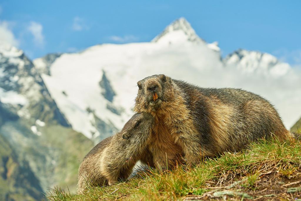 Murmeltiere vor Großglockner | Eine Alpenmurmeltier-Mutter und ihr Jungtier im Nationalpark Hohe Tauern, Österreich.