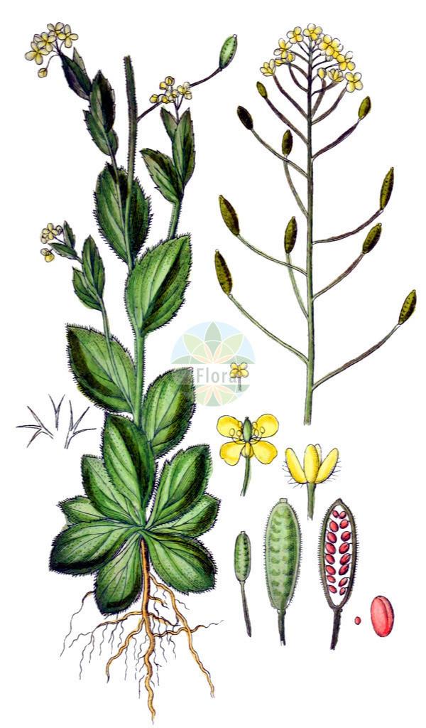 Draba nemorosa (Hain-Felsenbluemchen - Woodland Draba) | Historische Abbildung von Draba nemorosa (Hain-Felsenbluemchen - Woodland Draba). Das Bild zeigt Blatt, Bluete, Frucht und Same. ---- Historical Drawing of Draba nemorosa (Hain-Felsenbluemchen - Woodland Draba).The image is showing leaf, flower, fruit and seed.