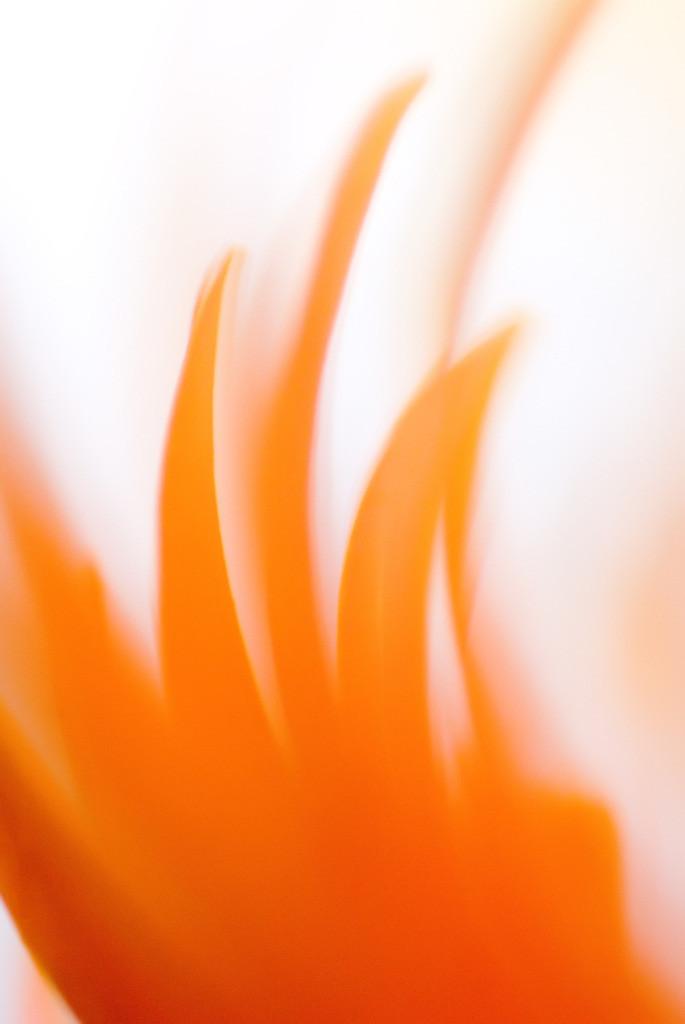 Feuer 01 | Gerbera