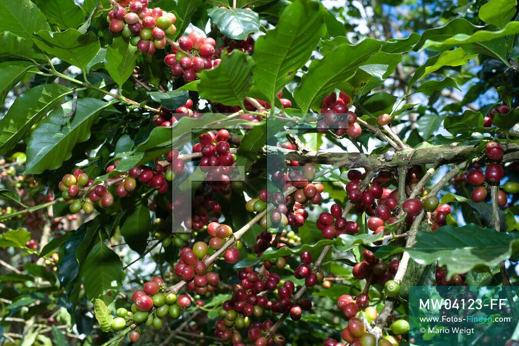 MW04123-FF | Laos | Paksong | Reportage: Kaffeeproduktion in Laos | Kaffeestrauch Arabica mit grünen und roten Kaffeekirschen. In den Plantagen auf dem Bolaven-Plateau gedeihen Sträucher der Kaffeesorten Robusta und Arabica.  ** Feindaten bitte anfragen bei Mario Weigt Photography, info@asia-stories.com **