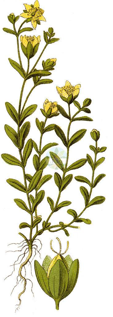 Hypericum humifusum (Niederliegendes Johanniskraut - Trailing St John's-wo | Historische Abbildung von Hypericum humifusum (Niederliegendes Johanniskraut - Trailing St John's-wort). Das Bild zeigt Blatt, Bluete, Frucht und Same. ---- Historical Drawing of Hypericum humifusum (Niederliegendes Johanniskraut - Trailing St John's-wort).The image is showing leaf, flower, fruit an