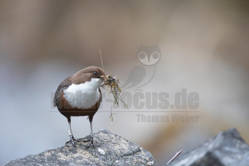 20200612-663A0003 (7) | Die Wasseramsel oder Eurasische Wasseramsel ist die einzige auch in Mitteleuropa vorkommende Vertreterin der Familie der Wasseramseln. Der etwa starengroße, rundlich wirkende Singvogel ist eng an das Leben entlang schnellfließender, klarer Gewässer gebunden.